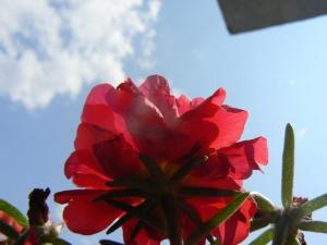 crven cvet